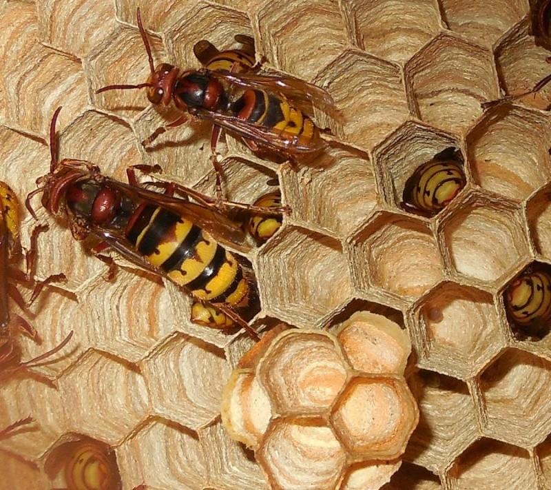 Nid de vespa crabro - Page 2 Fondat10