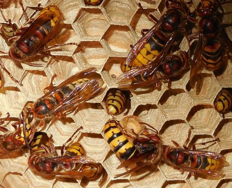 Nid de vespa crabro - Page 3 Male10