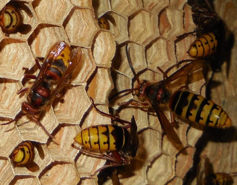 Nid de vespa crabro - Page 3 Male310