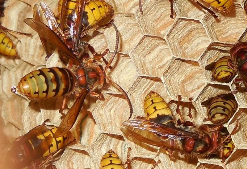 Nid de vespa crabro - Page 3 Male410