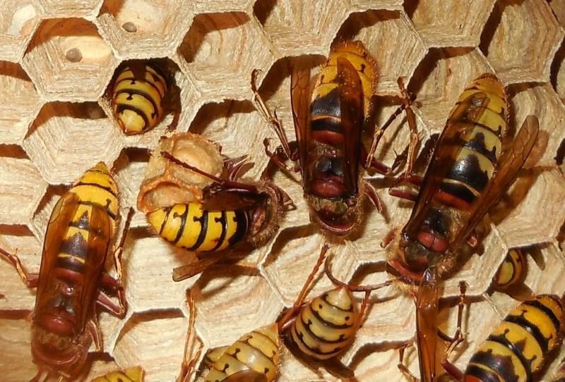 Nid de vespa crabro - Page 3 Male_210