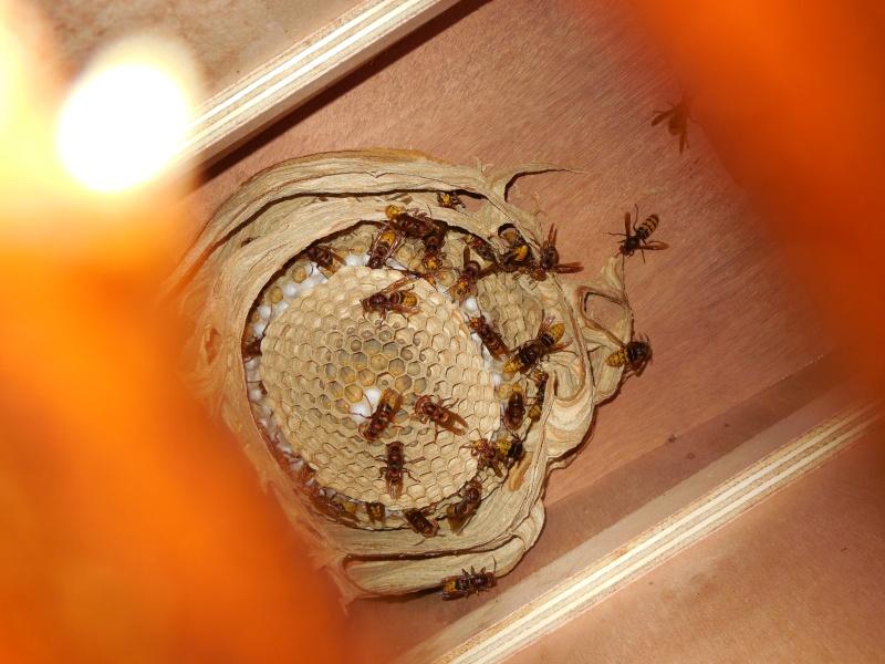 Nid de vespa crabro Nid10