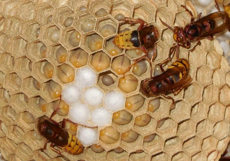 Nid de vespa crabro Nid_110