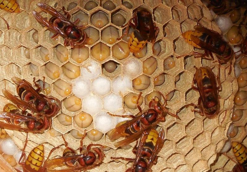 Nid de vespa crabro Nid_210