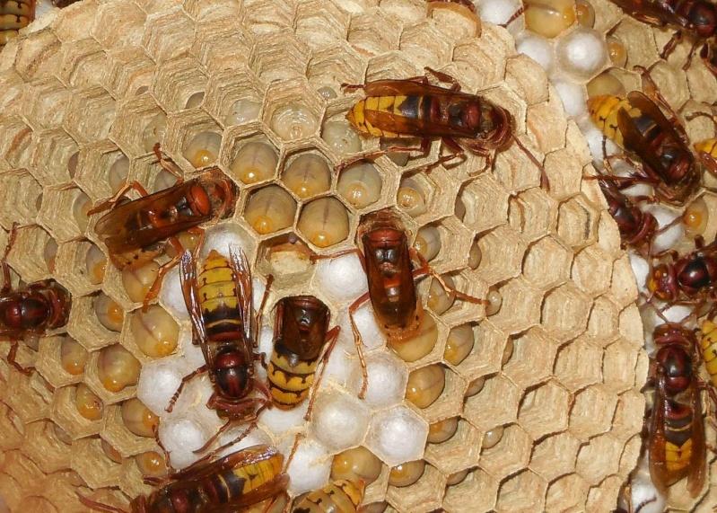 Nid de vespa crabro Nid_2810