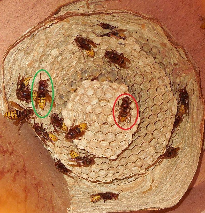 Nid de vespa crabro - Page 2 Nid_tr10
