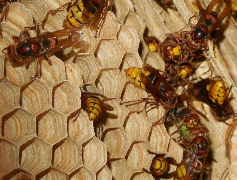 Nid de vespa crabro - Page 2 Partag11