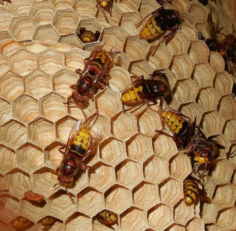 Nid de vespa crabro - Page 2 Pilier10