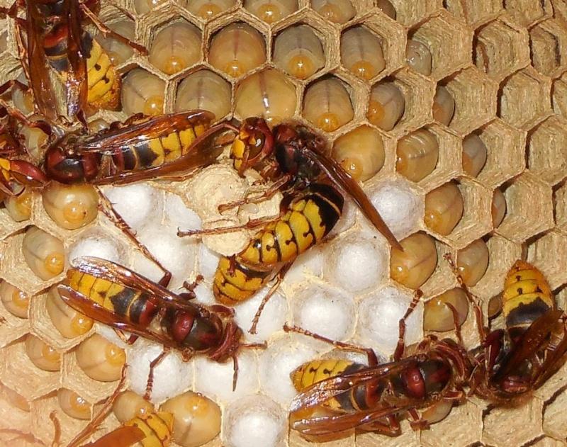 Nid de vespa crabro Ponte_10