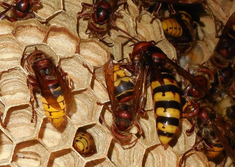 Nid de vespa crabro - Page 2 Reine10
