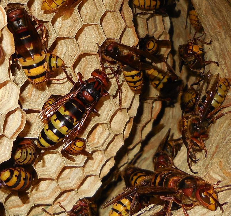 Nid de vespa crabro - Page 3 Reine11