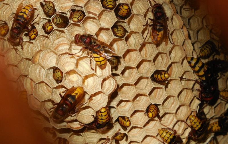 Nid de vespa crabro - Page 3 Reine_10