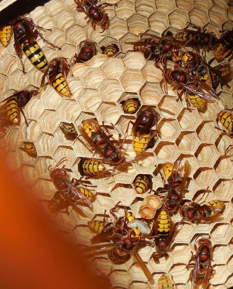 Nid de vespa crabro - Page 3 Scyne_10