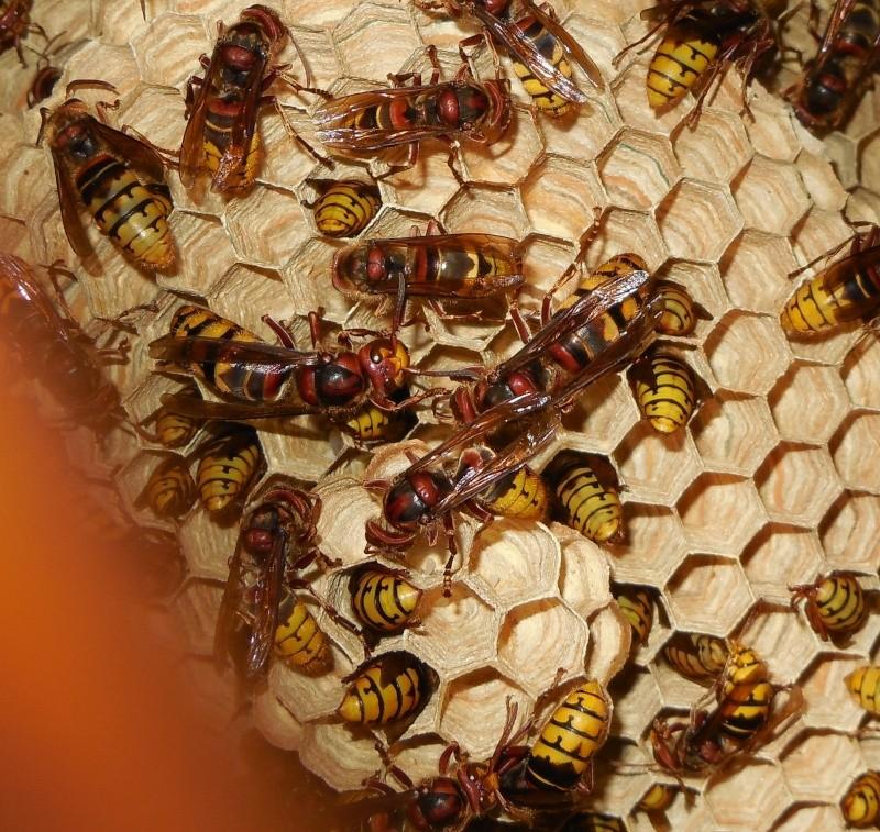 Nid de vespa crabro - Page 3 Sexuys10