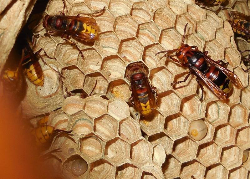 Nid de vespa crabro - Page 3 Struct10