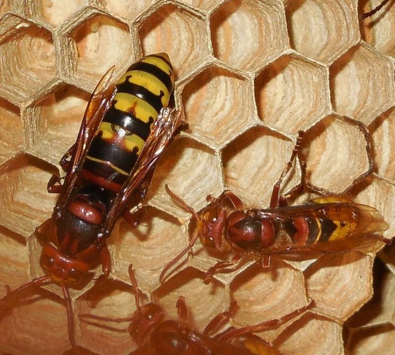 Nid de vespa crabro - Page 2 Tache_11