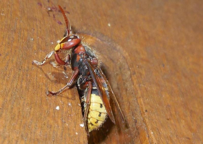 Nid de vespa crabro Veille10