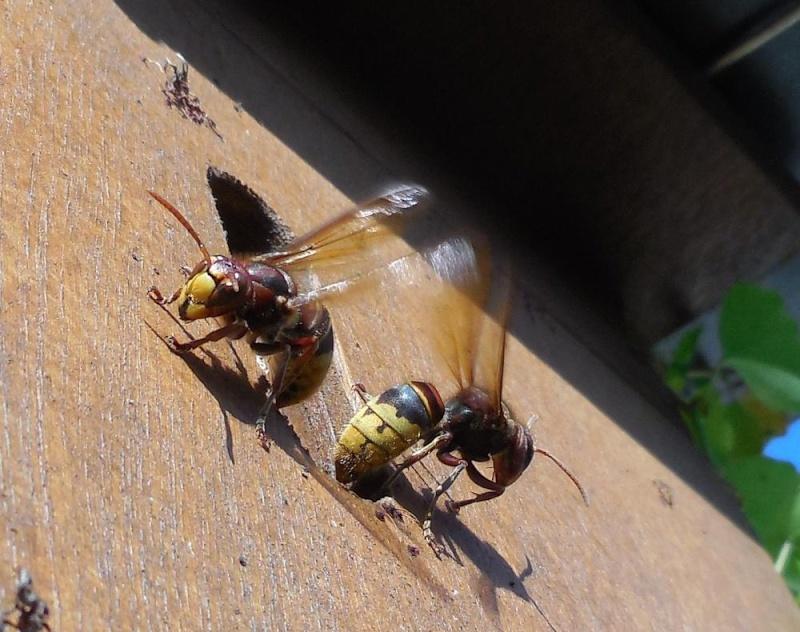 Nid de vespa crabro - Page 2 Ventil10