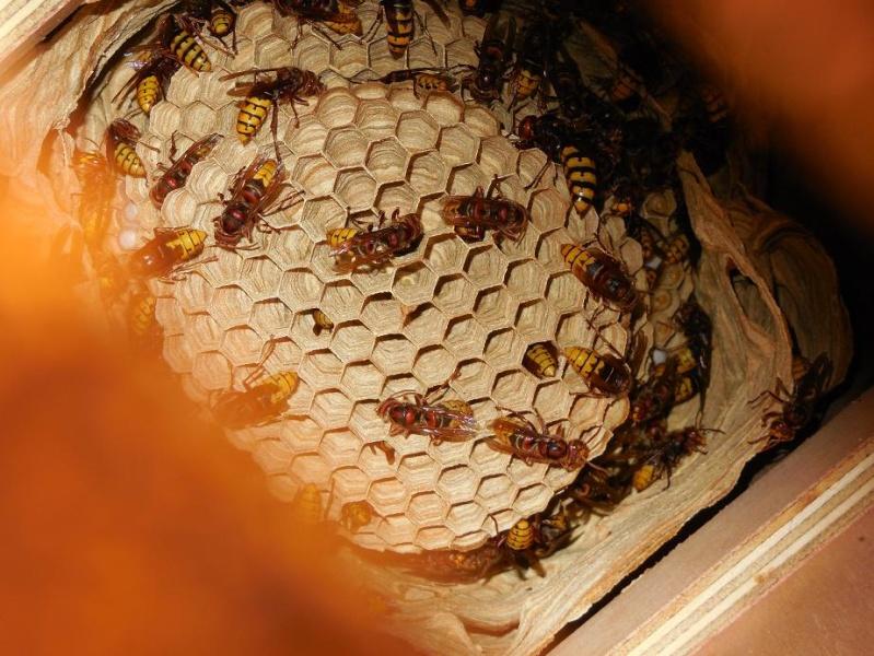 Nid de vespa crabro - Page 2 Vue_d_10