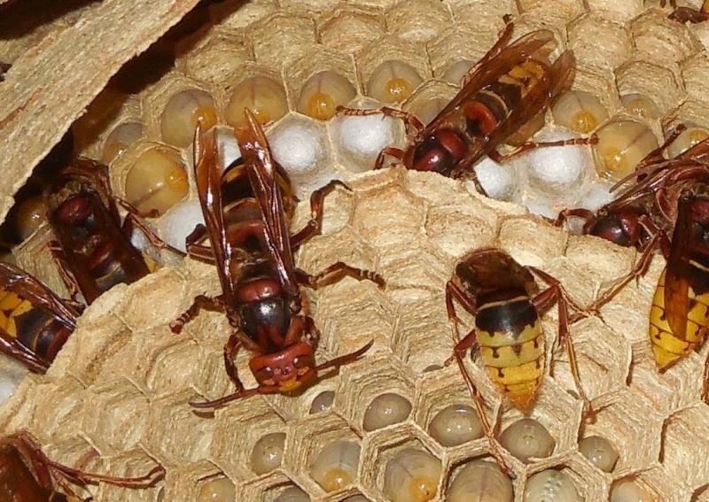 Nid de vespa crabro Zoom_r10