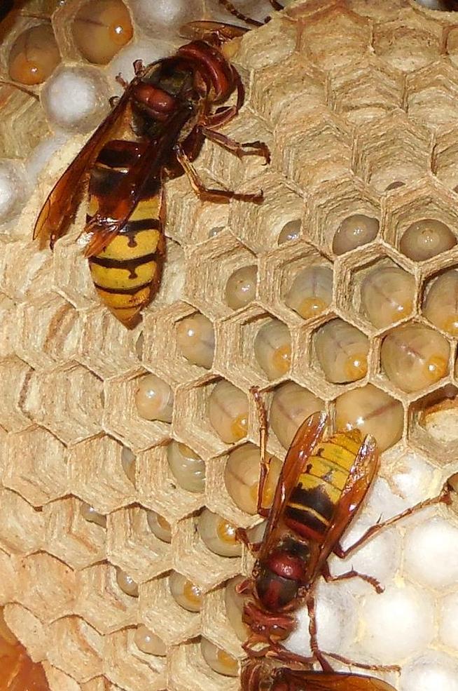 Nid de vespa crabro Zoom_r12