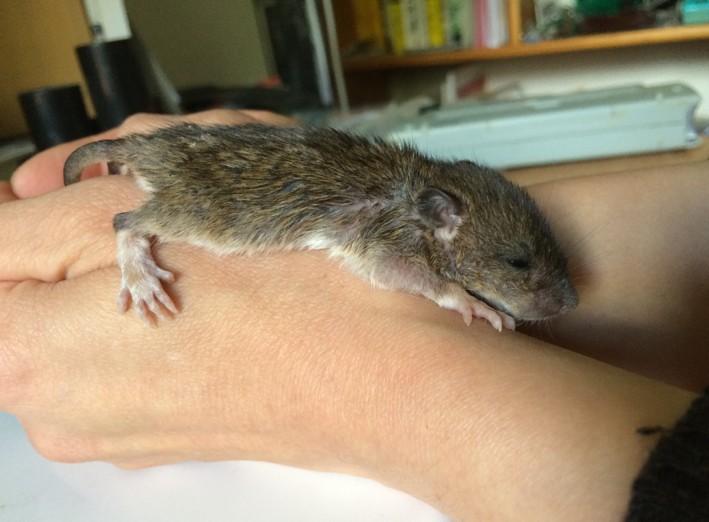 Et voici notre bébé Rat des champs : Ratatouille  Img_4013