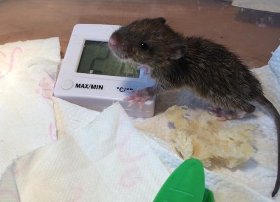 Et voici notre bébé Rat des champs : Ratatouille  Rata1910