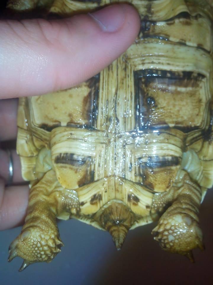 sexe de ma tortue ??? 54615