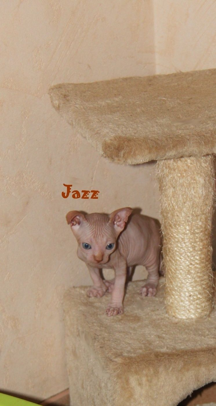 Bébé sphynx  Jazz_310
