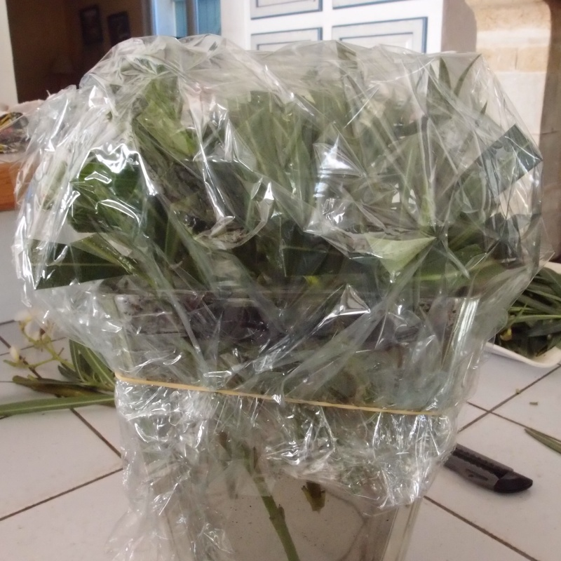 bouture des lauriers roses P9114210