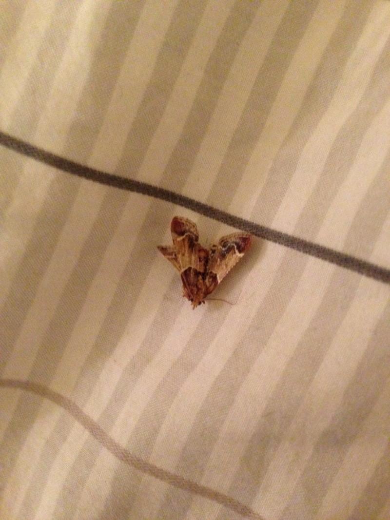Besoin d'aide pour identification papillons de nuit ou mites? Photo-10