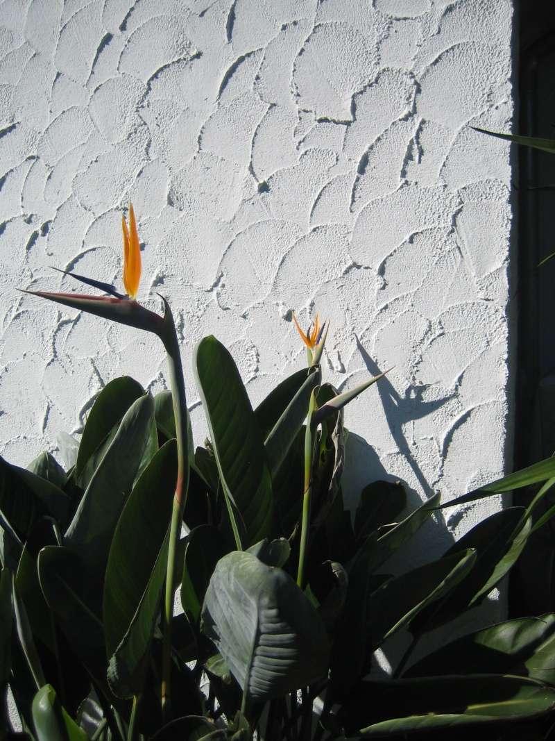 Kübelpflanzen - Seite 7 00511