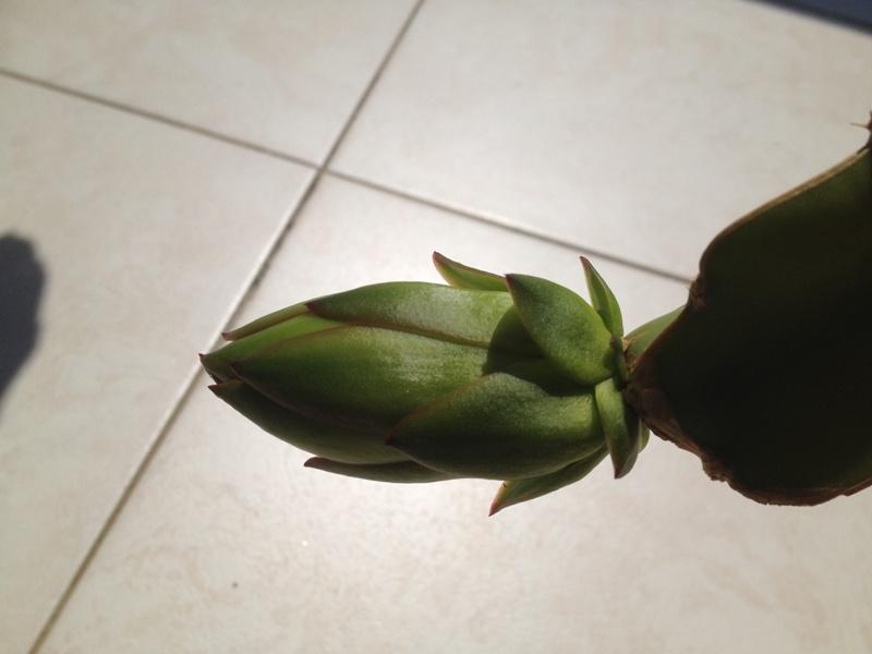 Hylocereus undatus, fruit du dragon- Pitaya ou Pitahaya - Page 2 2014_014