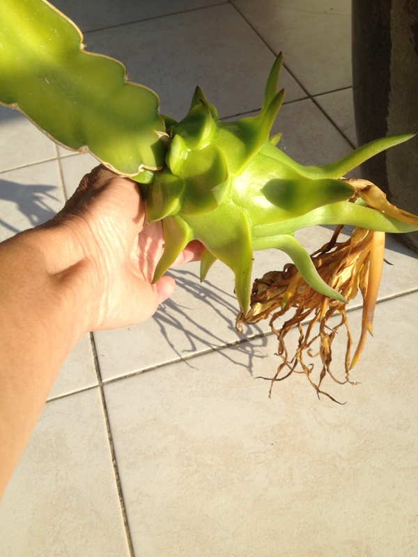 Hylocereus undatus, fruit du dragon- Pitaya ou Pitahaya - Page 2 2014_018