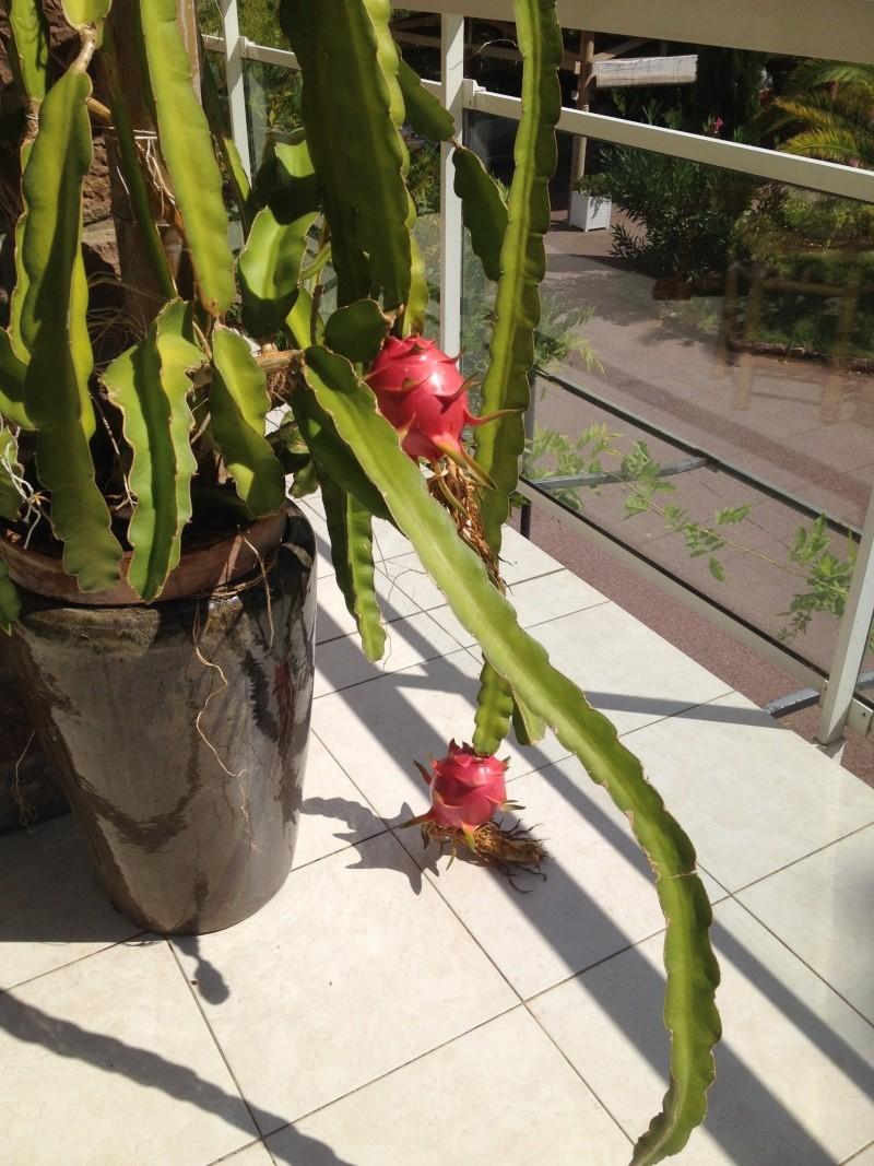 Hylocereus undatus, fruit du dragon- Pitaya ou Pitahaya - Page 2 Img_3010