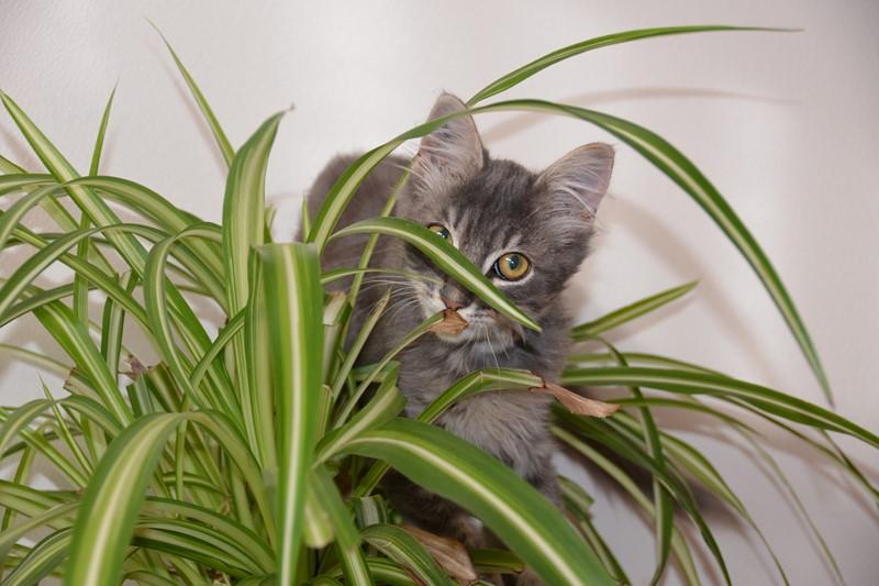 Jéjé chaton mâle BLUE TABBY né le 27/05/2014 Dsc_6211