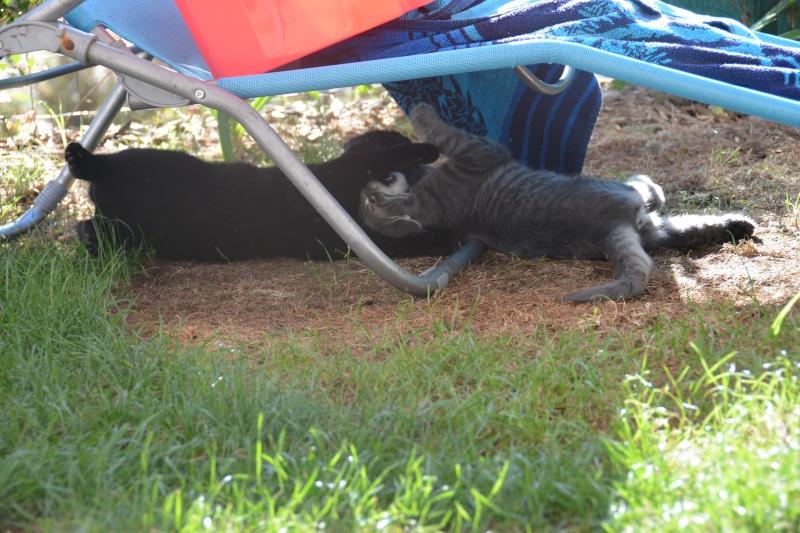 Jéjé chaton mâle BLUE TABBY né le 27/05/2014 Dsc_6410