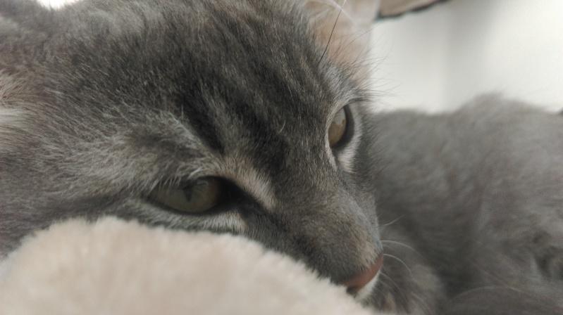 Jéjé chaton mâle BLUE TABBY né le 27/05/2014 Imag0014