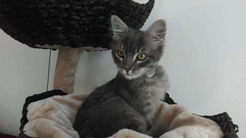 Jéjé chaton mâle BLUE TABBY né le 27/05/2014 Imag0015