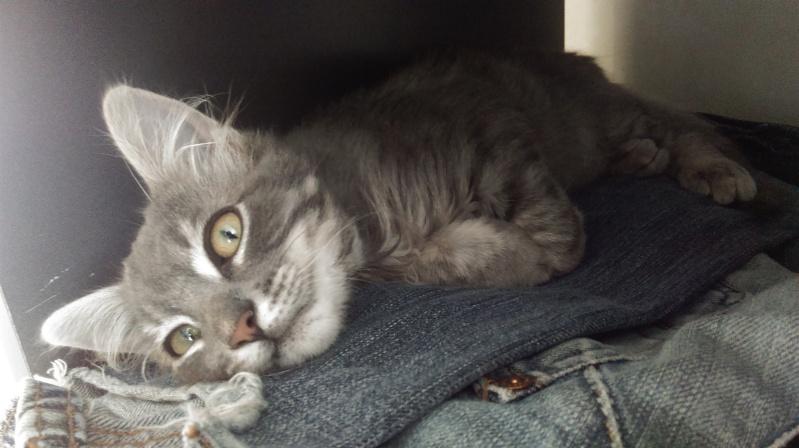 Jéjé chaton mâle BLUE TABBY né le 27/05/2014 Imag0016