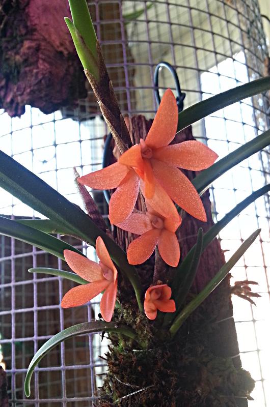 Miniatur-Orchideen 2. Teil - Seite 2 Cera_r10