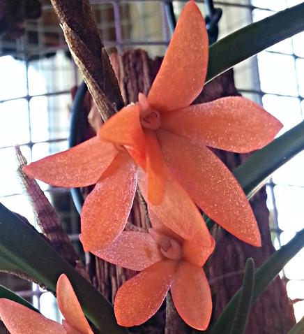 Miniatur-Orchideen 2. Teil - Seite 2 Cera_r14