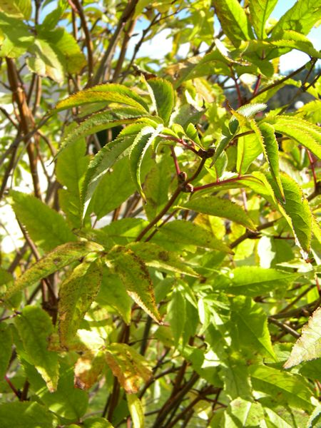 Quel arbuste ? Arbust11
