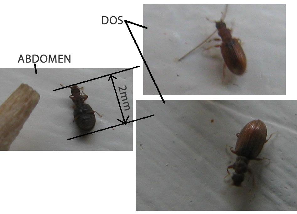 Minuscule Insecte Brun 2mm pas plus grand (volant de temps à temps) Insect10