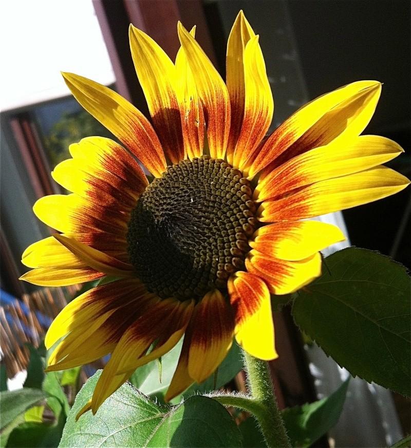 Sonnenblumen(artige) - Heliantheae Img_0613