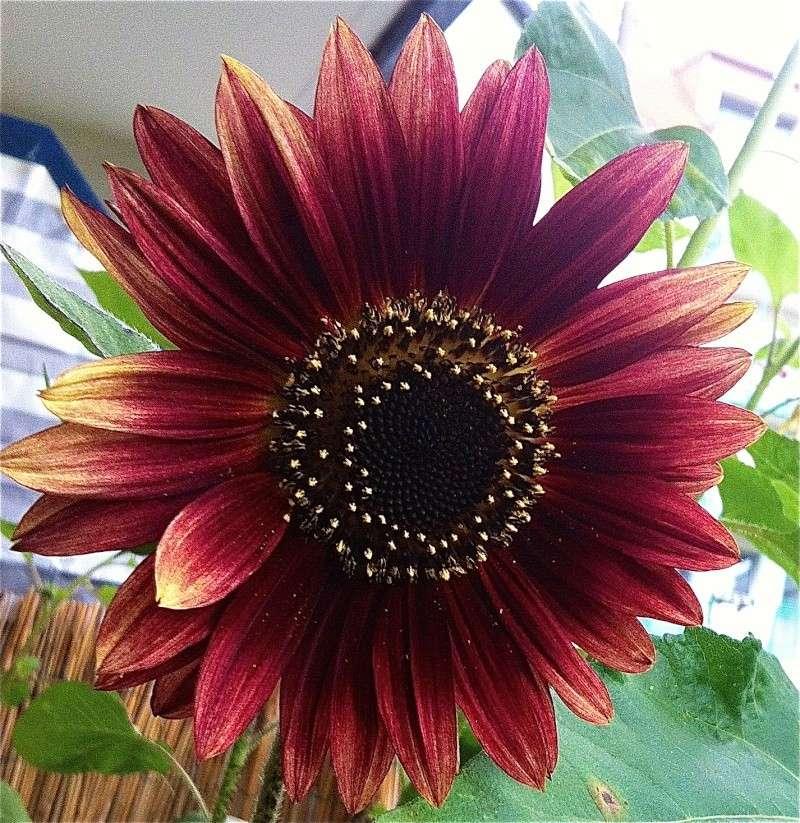 Sonnenblumen(artige) - Heliantheae Img_0614
