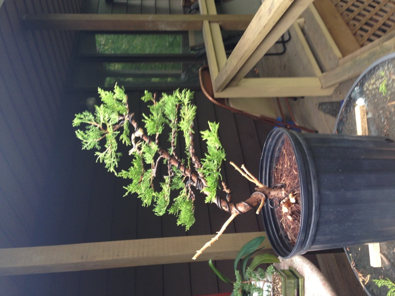 Need advice for a new bonsai enthusiast (Old Gold Juniper) Img_0510