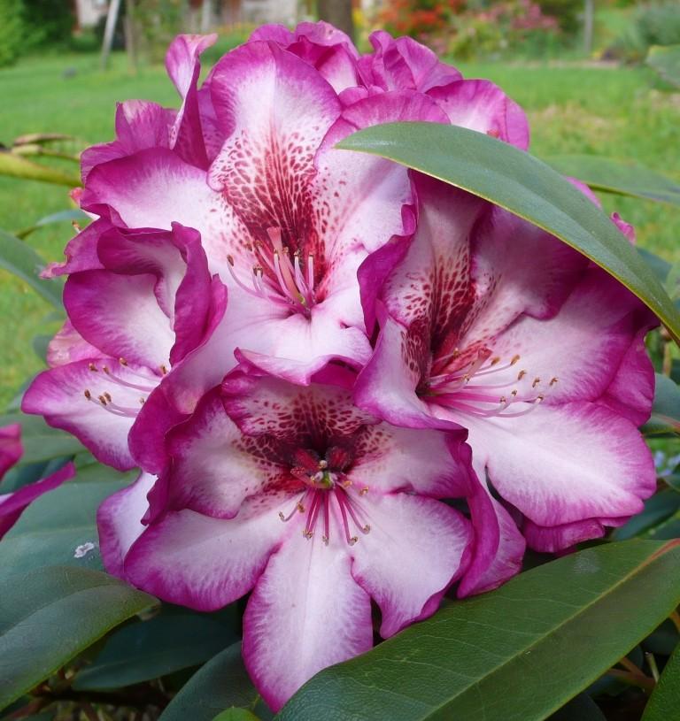 Rhododendron - espèces, variétés, floraisons - Page 3 0_0_p111