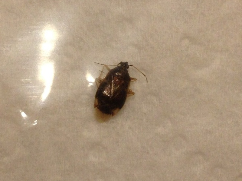 [Miridae] Punaise de lit 02512