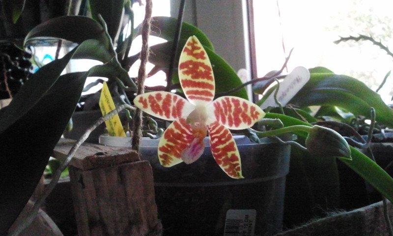 Phalaenopsis ´Oberhausen Smart` 2014-111